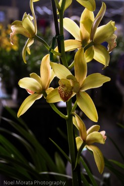 Gorgeous yellow cymbiums lit up