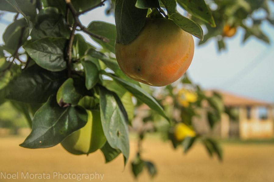 An abundance of quince at Podere San Giuliano