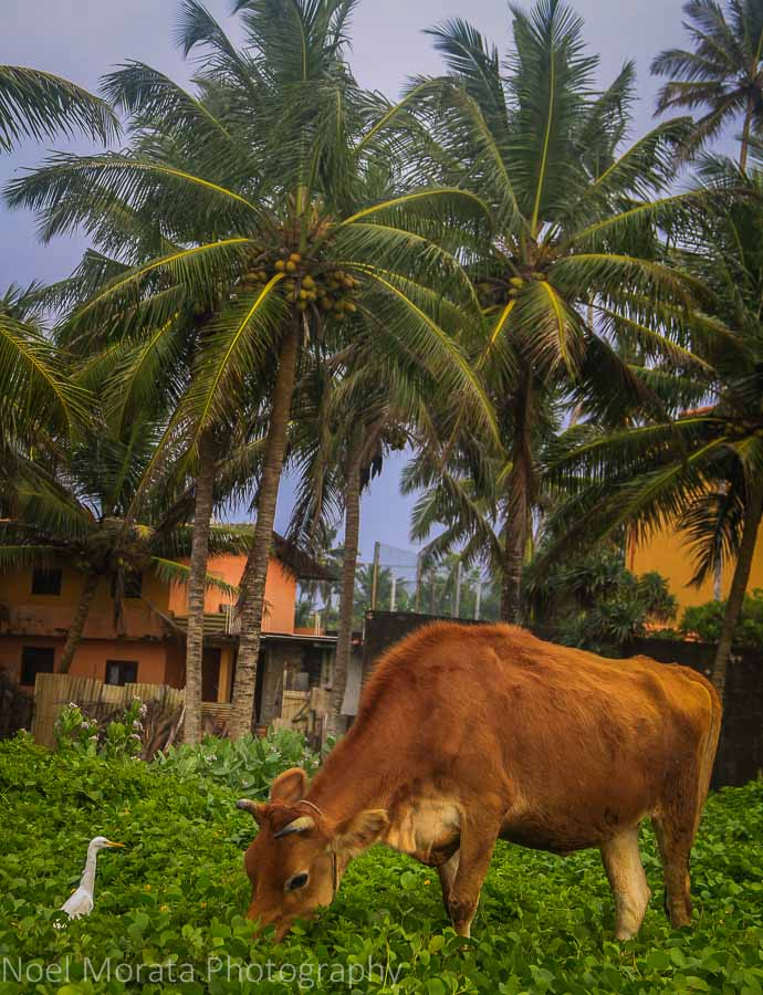 Cows feeding on the outskirts of Galle, Sri Lanka