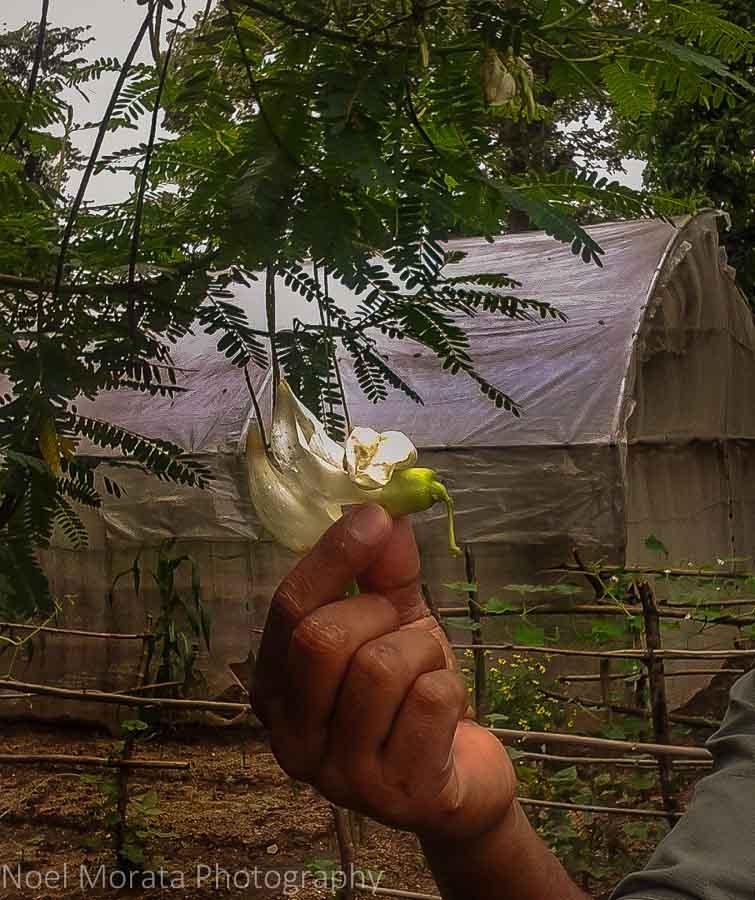 Edible tree flowers at Cinnamon Lodge in Habanara