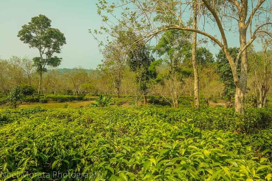 Araksa Tea Plantation, Chiang Mai, Thailand