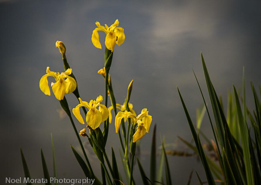 Iris and water views at Copenhagen Botanical garden