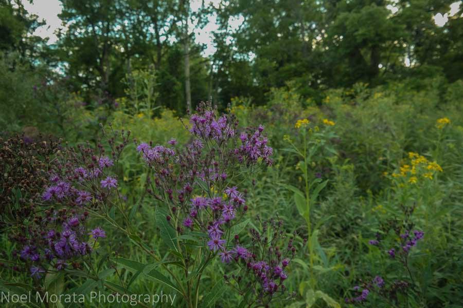 Wild flower blooms - Cleveland Metro parks