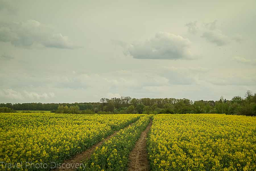 Wild mustard fields on the outskirts of Berlin Germany