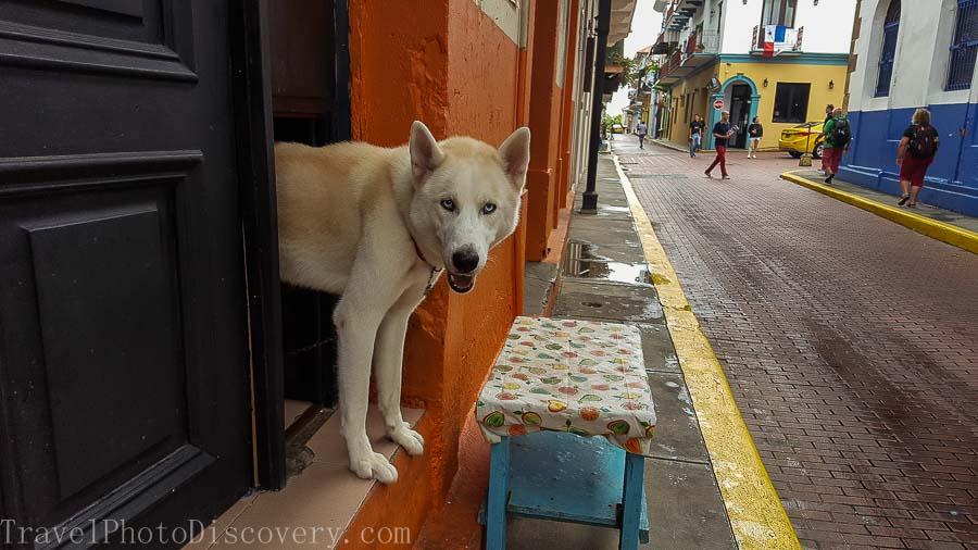A white dog in Casco Viejo Visiting Panama City's Unesco site Casco Viejo