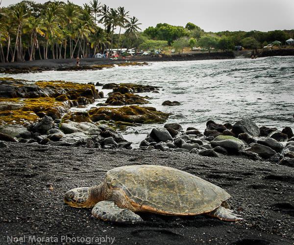 Visiting green turtles at Punalu'u on the Big Island with kids