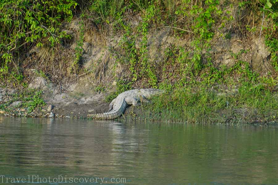A crocodile along the banks of the Rapti at Chitwan