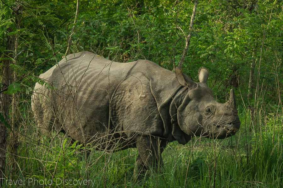 Solitary rhino at Chitwan National Park