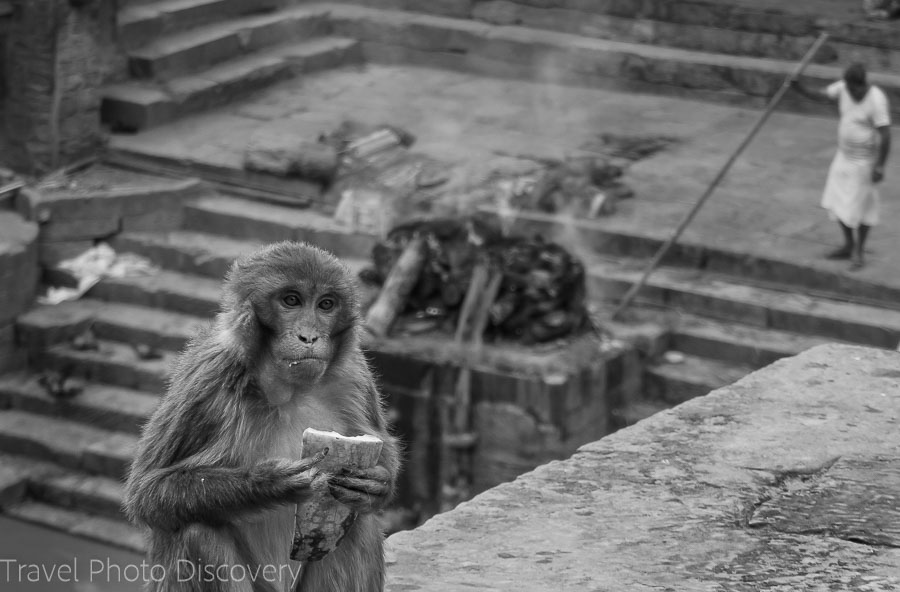 Monkeys looking for food at Pashupatinath Temple in Katmandu, Nepal