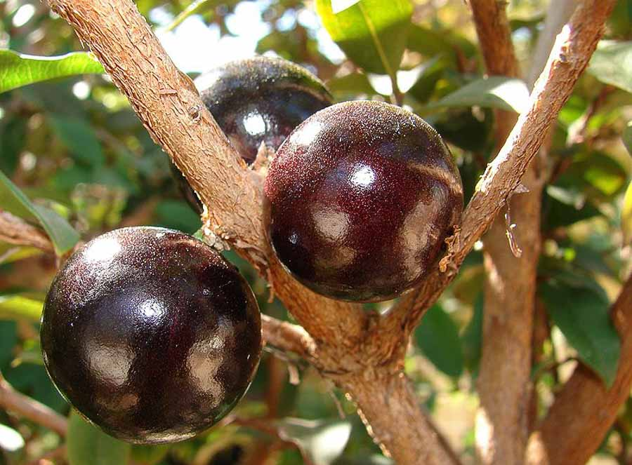tropical Jabuticaba_fruto