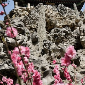 Pink cherry blossoms bloom against the temples and rocks in the Forbidden City in Beijing, China.