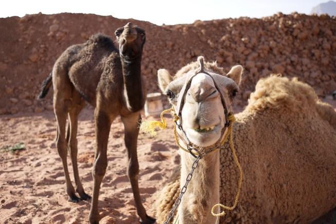 Say cheese! Smiling camels in Wadi Rum, Jordan