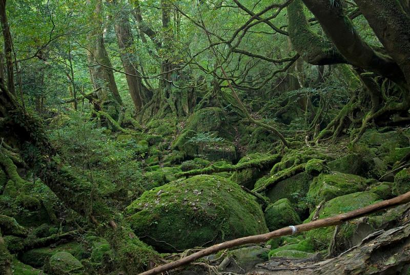 Princess Mononoke Grove, Shiratani Unsuikyo - Yakushima, Japan