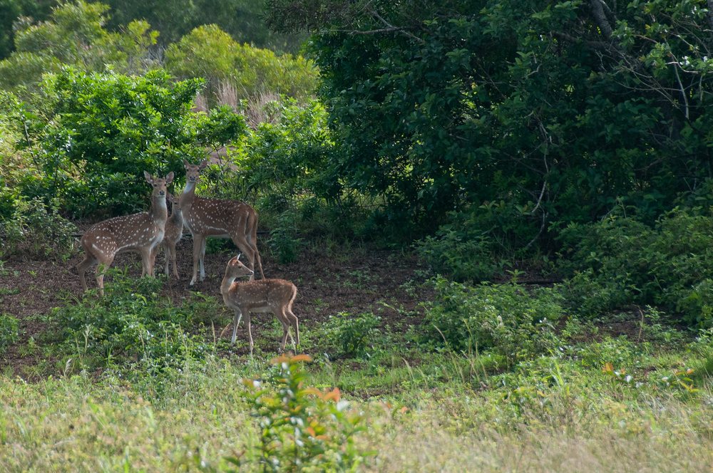 Axis deer on the island of Lanai in Hawaii (Daily Travel Photo, Gary Arndt)