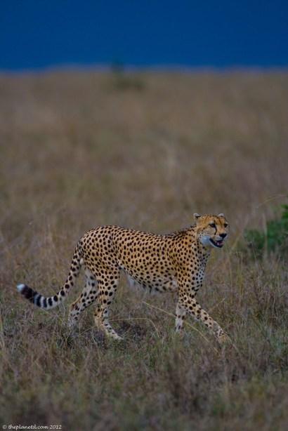 cheetah on african safari