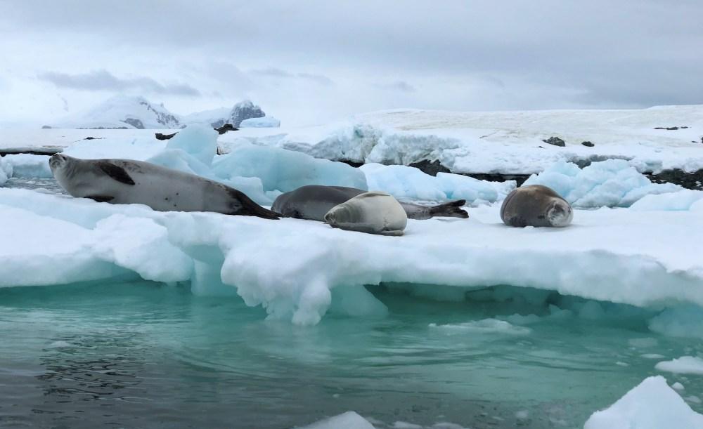 Crabeater Seals
