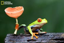 Wild red-eyed tree frog