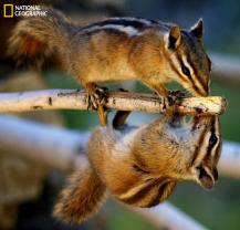 Colorado Rocky Mountain chipmunks