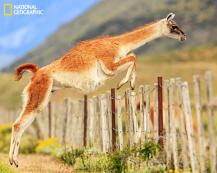 Guanaco jumping a fence