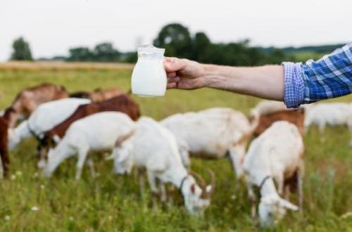 kenali deretan khasiat susu kambing untuk kesehatan tubuh - Icha Trans - Kenali Deretan Khasiat Susu Kambing untuk Kesehatan Tubuh