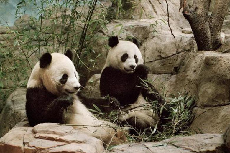 Pandas Washington zoo