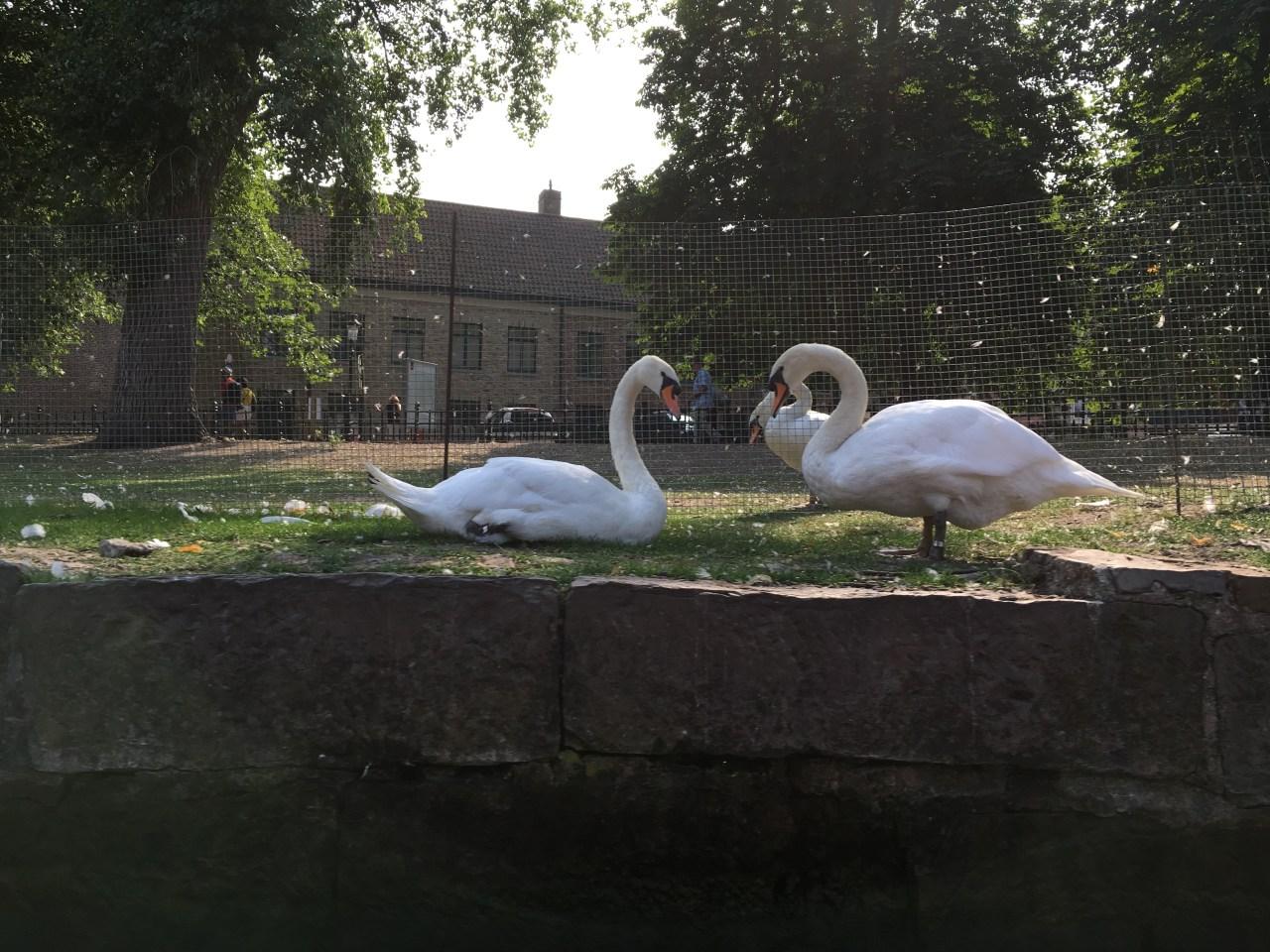 swans Bruges