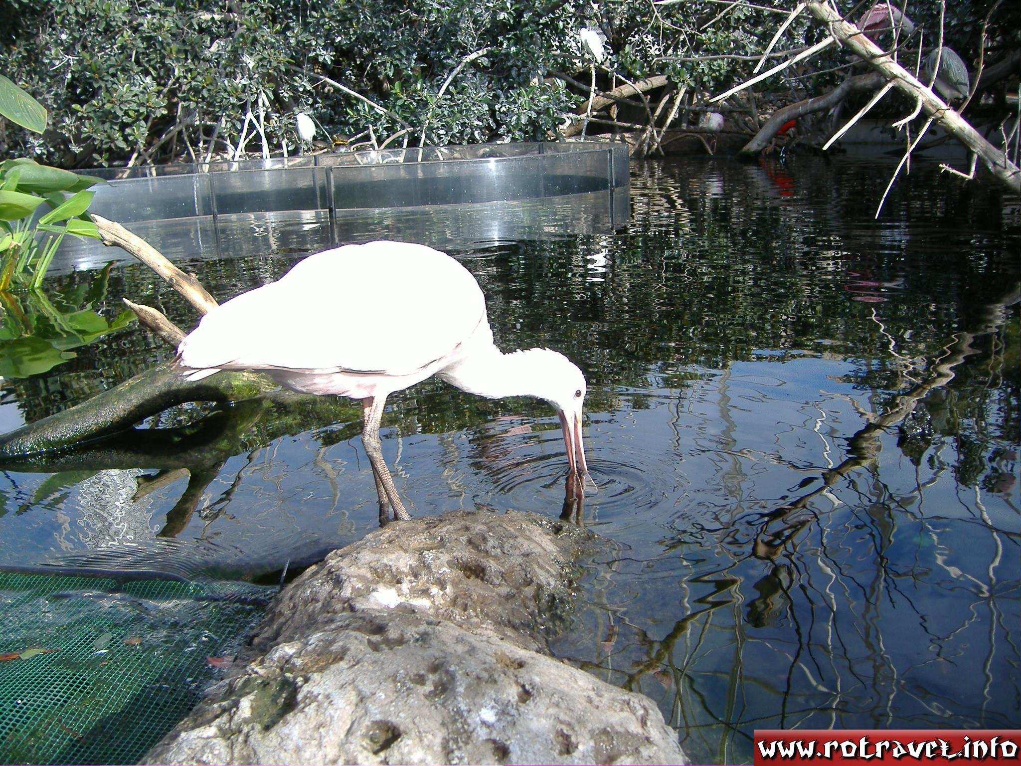 I think this is a spoonbill or egret...