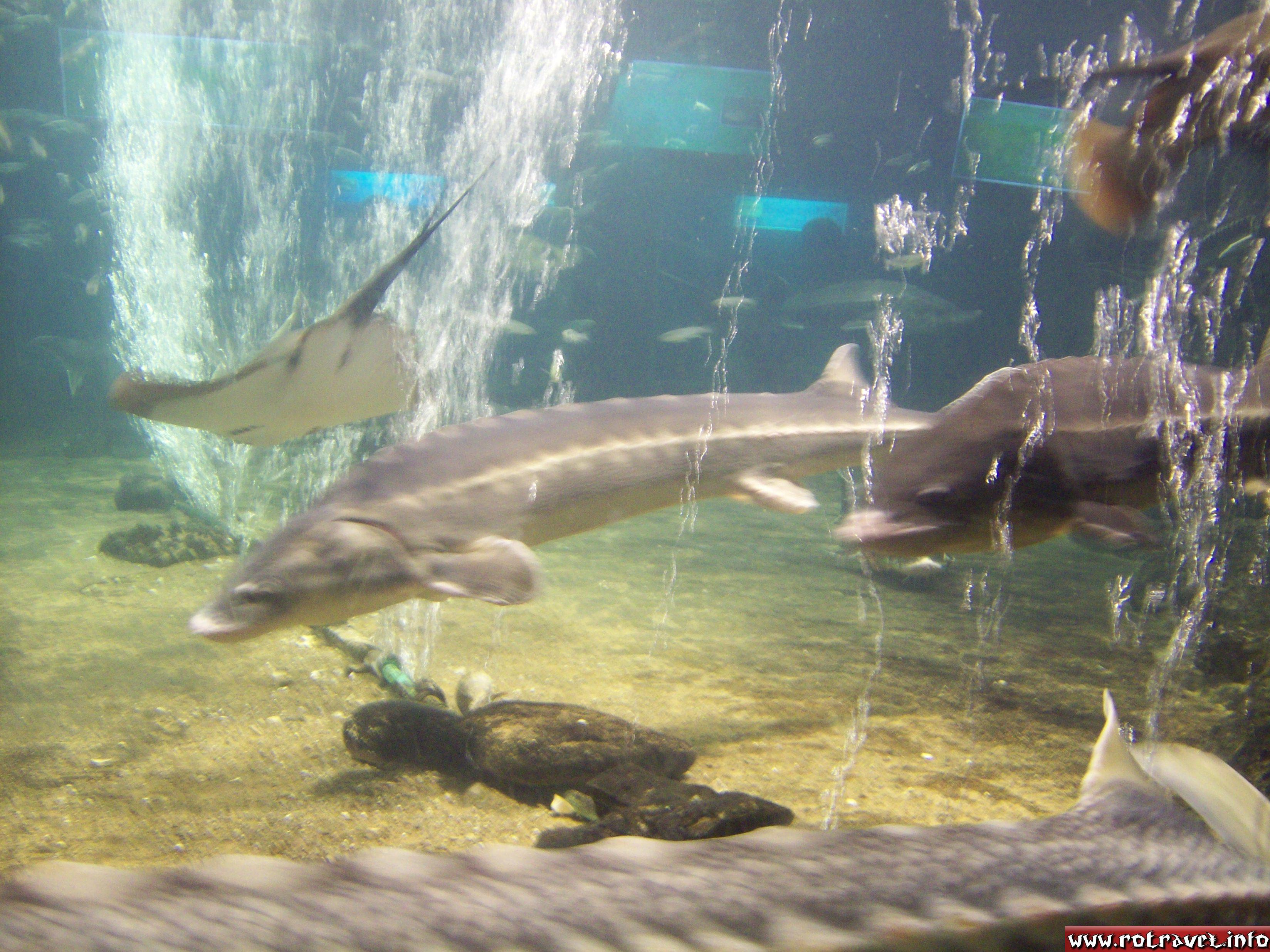 Beluga or European sturgeon (Huso huso)
