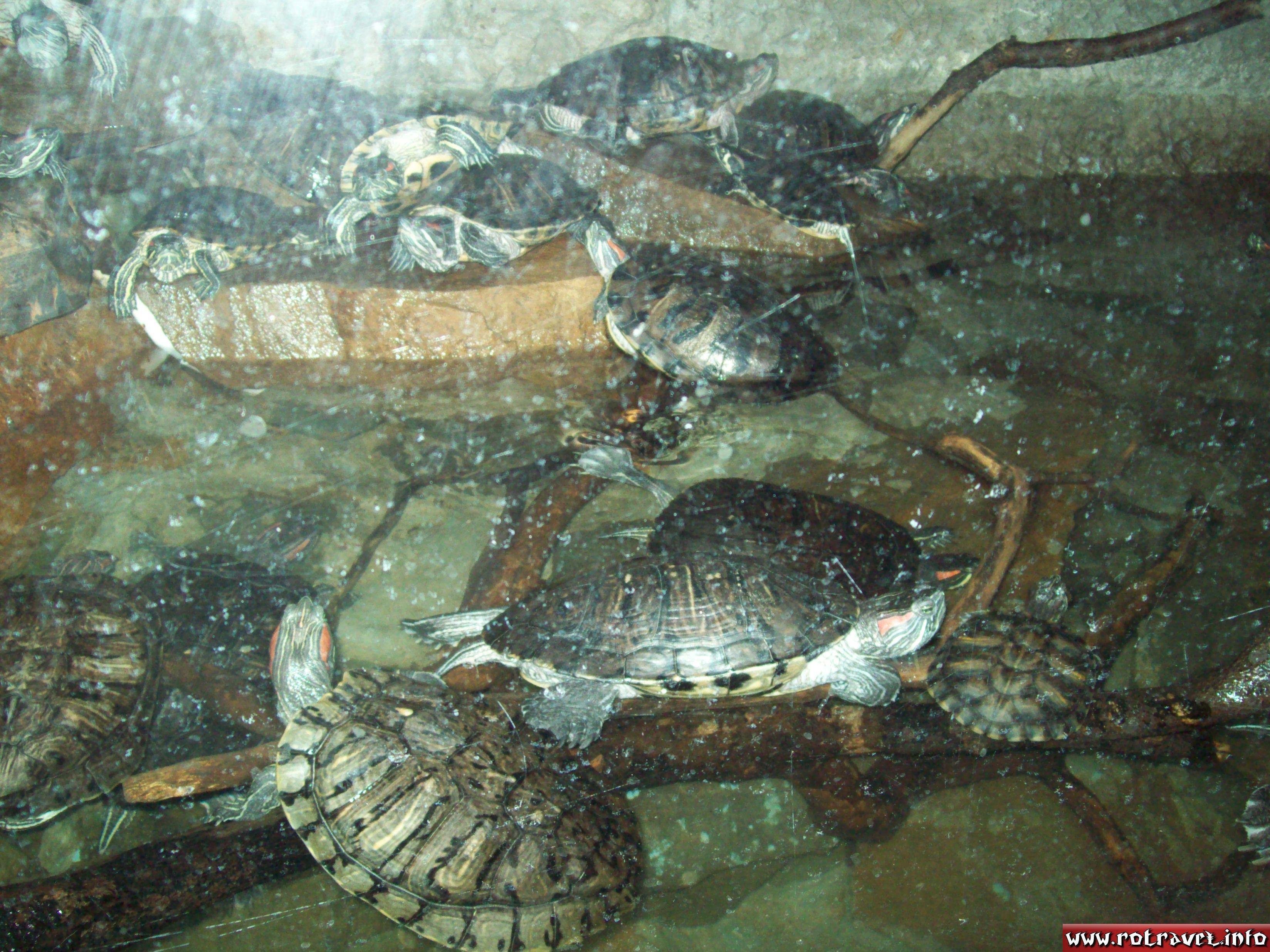 Turtle (Testudines)