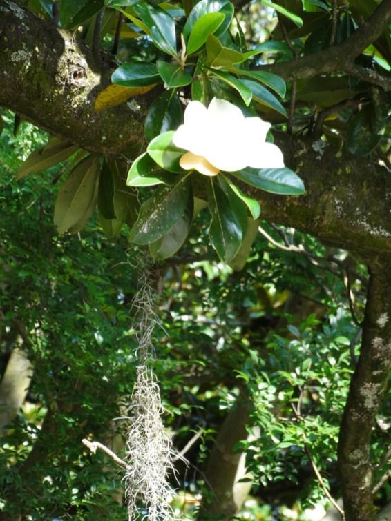 Magnolien Savannah