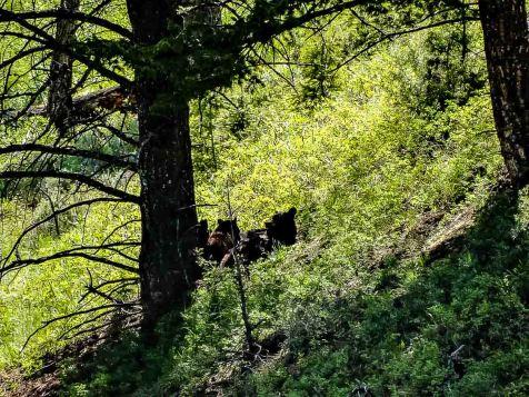 yellowstone bären mit jungen