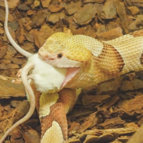 Eine Schlange verschlingt die süße Maus
