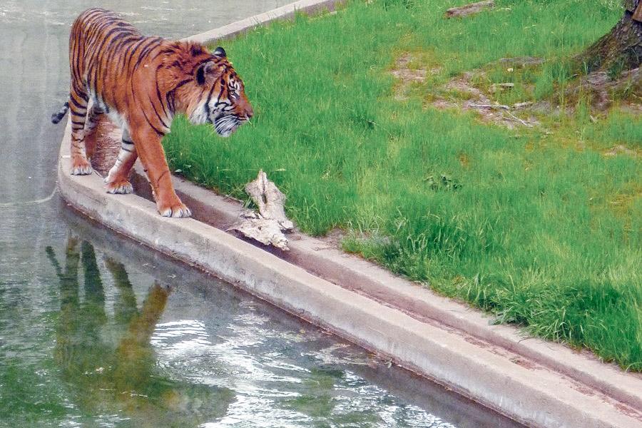 Tiger im National Zoo Washington DC