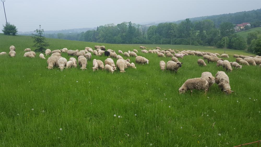 owcebucze