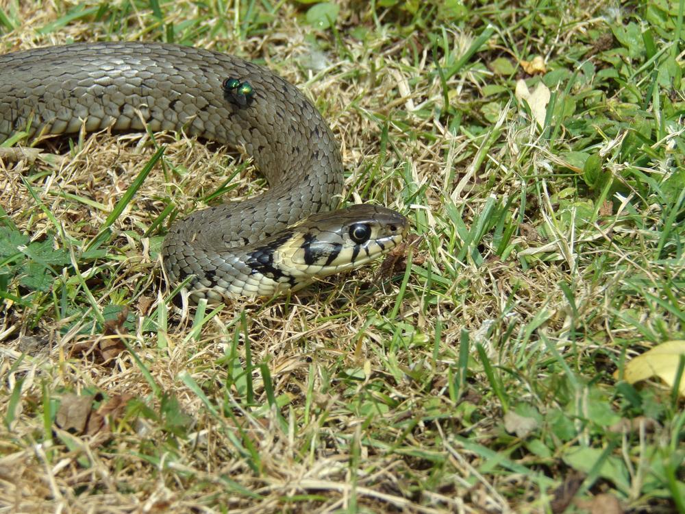 zaskroniec-wąż