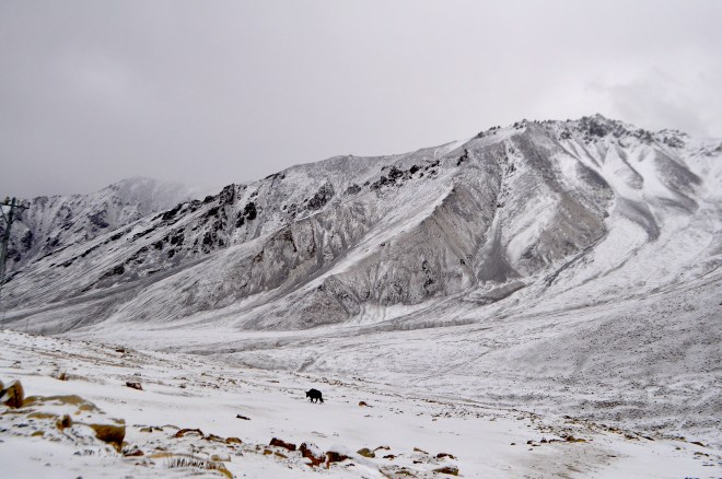 An animal grazes in the harsh landscape of Khardung