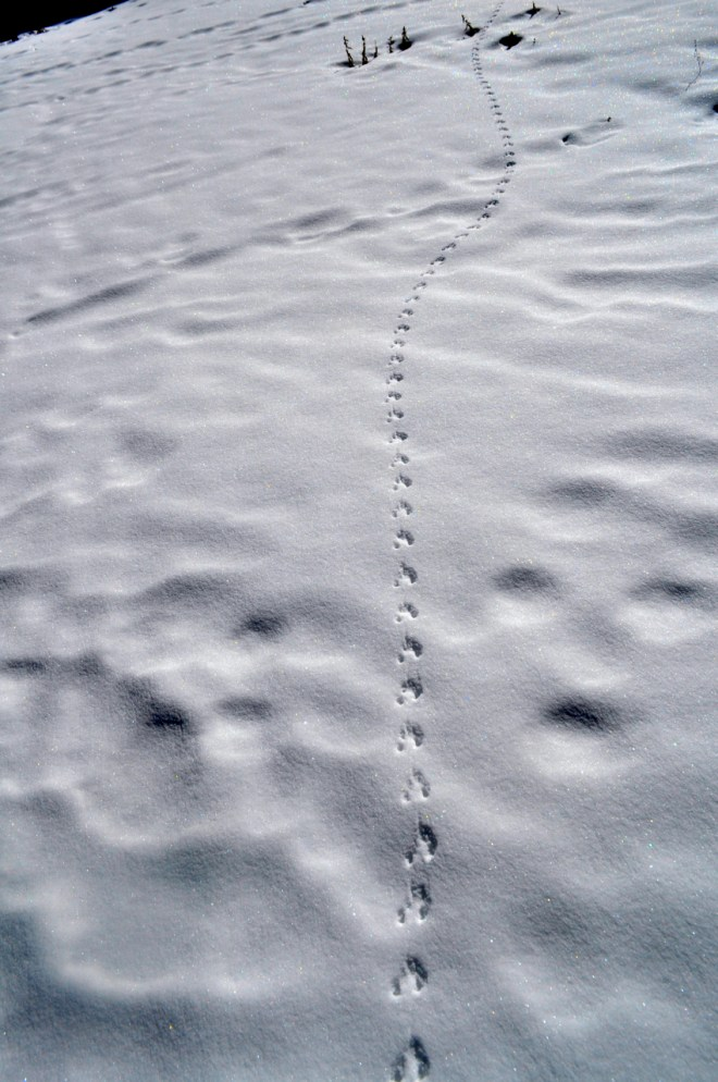 Fresh footprints of 'Shanku' or Tibetan wild wolf