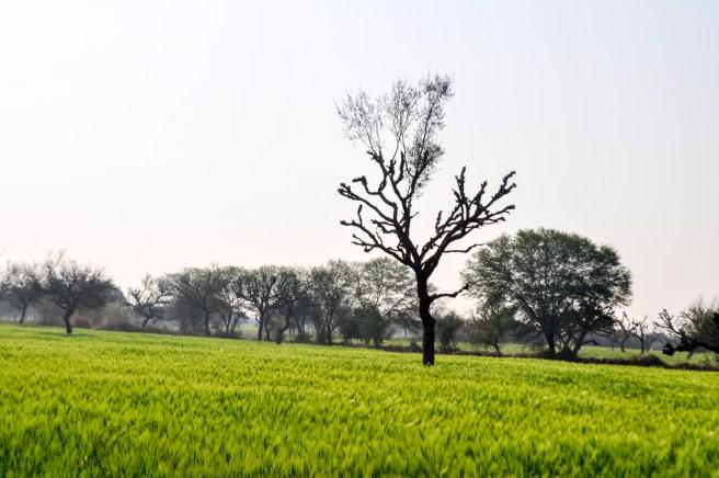 'Sarson ke khet', lush mustard fields in the desert