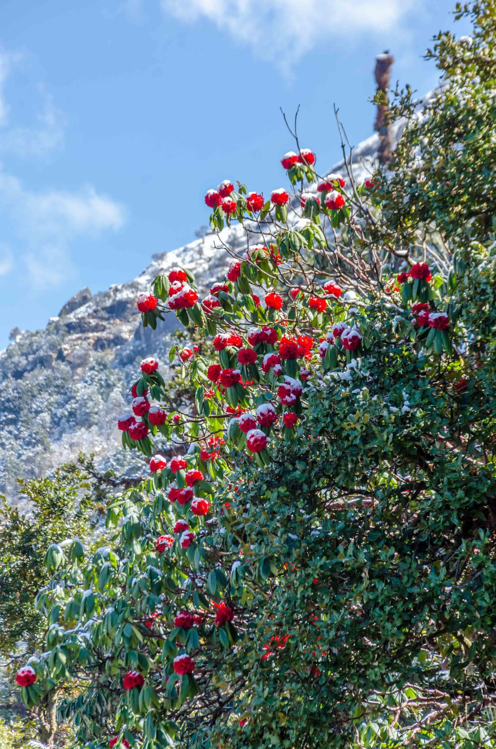 Chopta Rhododendrons