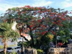 Tree in bloom at Bluebeard's Castle Resort