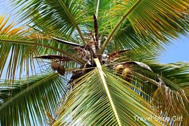 Coconut tree outside Asolare