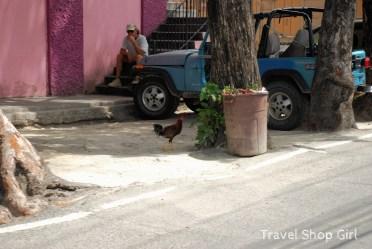 Chickens roaming in Cruz Bay