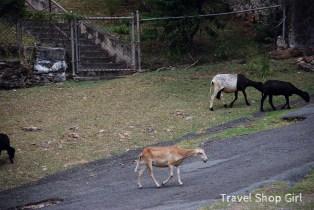 Little goats running along the street