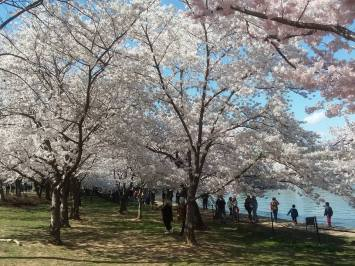cherry blossoms - 2018