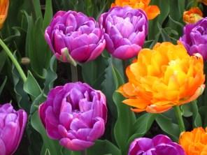 Orange & purple tulips at Washington Park Photo by Jelane A. Kennedy