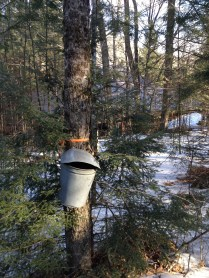 Collecting maple sap the old way. Photo by Eileen A. McFerran