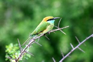 Little Green Bee Eater, Kenya