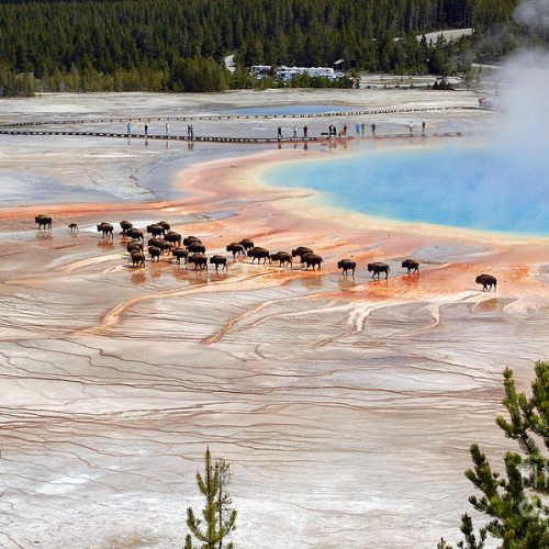bison-crossing-edge-of-grand-prismatic-spring-in-yellowstone-national-park-shawn-obrien