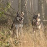 things to do lake district_walking with wolves