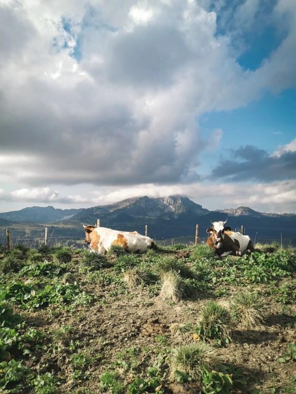 Les vaches qui jonglent le sentier qui descend jusqu'à Habkern